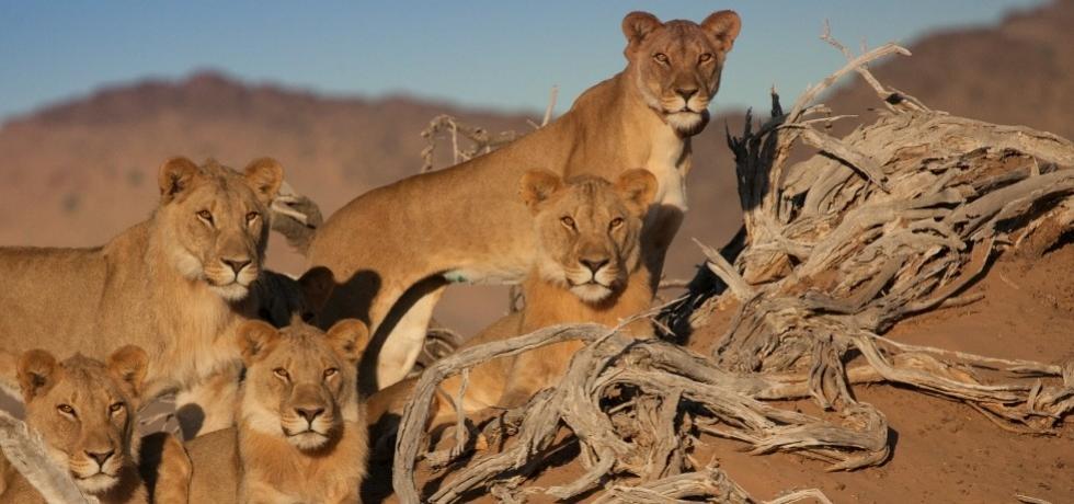 אריות המדבר האחרונים של נמיביה