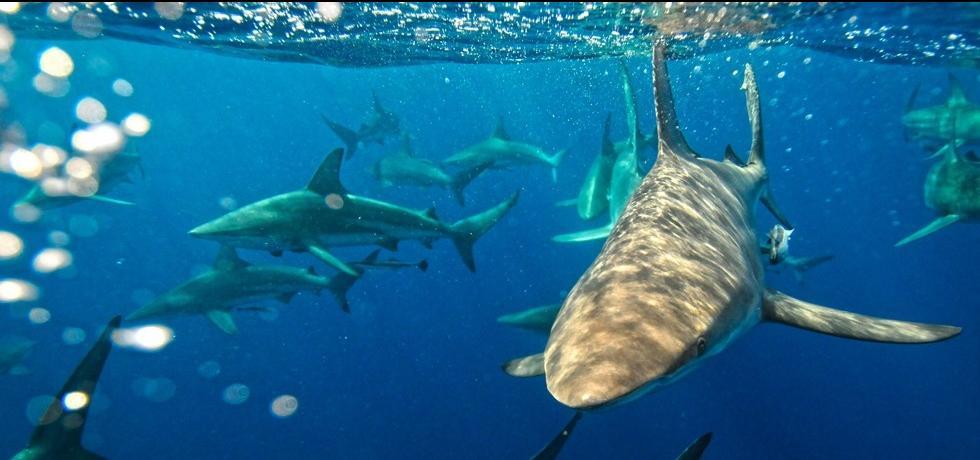 Žraločí festival