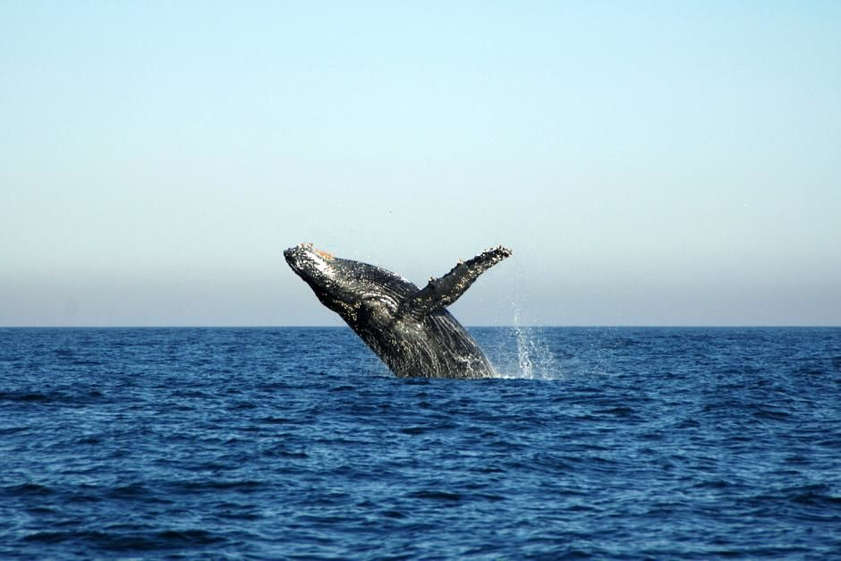 South Coast, South Africa: Humpback whale breaching out of water.  This image is from Cameramen W... [A nap kpe - 2012. mjus  1.]