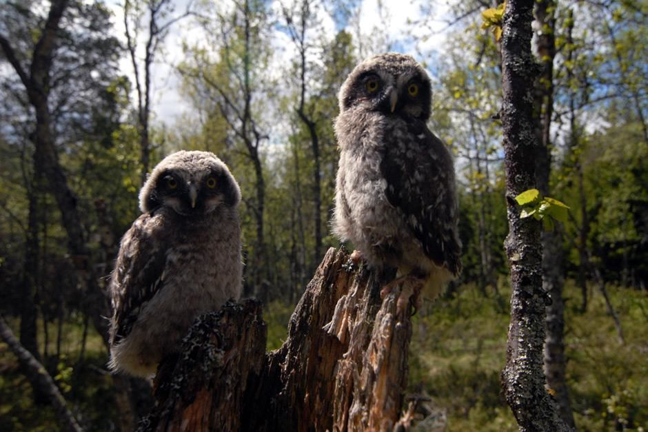 Sweden: Close-up of two Great Grey Owl chicks (Strix nebulosa) perched on a broken tree stump dur... [  -  2012]