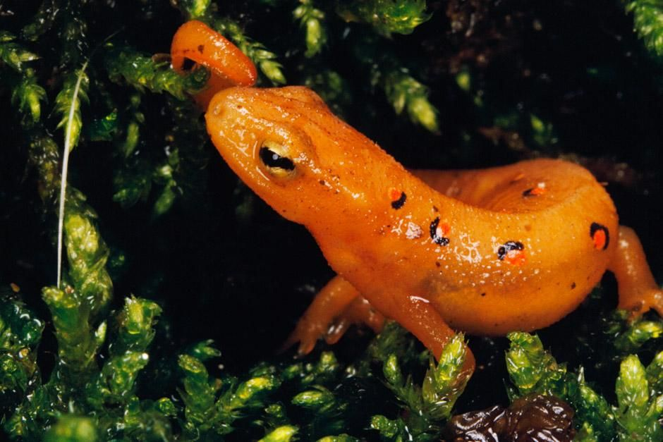 A red-spotted newt (Notophthalmus Viridescens) grows into maturity. This image is from Nat Geo Am... [A nap kpe - 2012. mjus  6.]