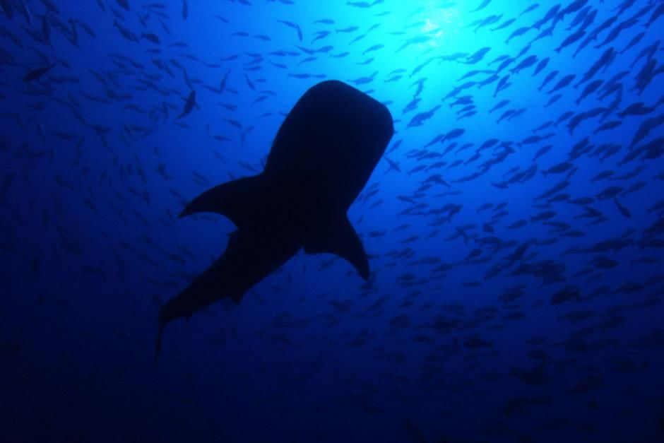 SCREEN GRAB: Nearly 40 feet long and weighing up to 20 tons, the mysterious whale shark is the la... [Dagens foto - maj 2012]
