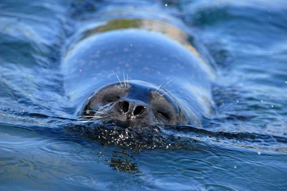 Denmark: Close-up shot of a Grey Seal (Halichoerus grypus) tipping its nose out of the water whil... [Photo of the day - maj 2012]