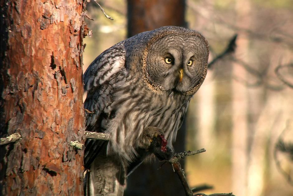 Sweden: Great Grey Owl (Strix nebulosa) is seen resting on a tree limb while its eyes are locked ... [   -  2012]