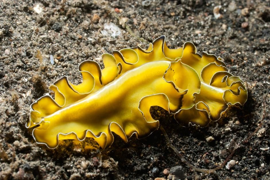 Polyclad Flatworm  Pseudobiceros flowersi on black sand of Lembeh Strait during a night dive at A... [Photo of the day - May, 2012]
