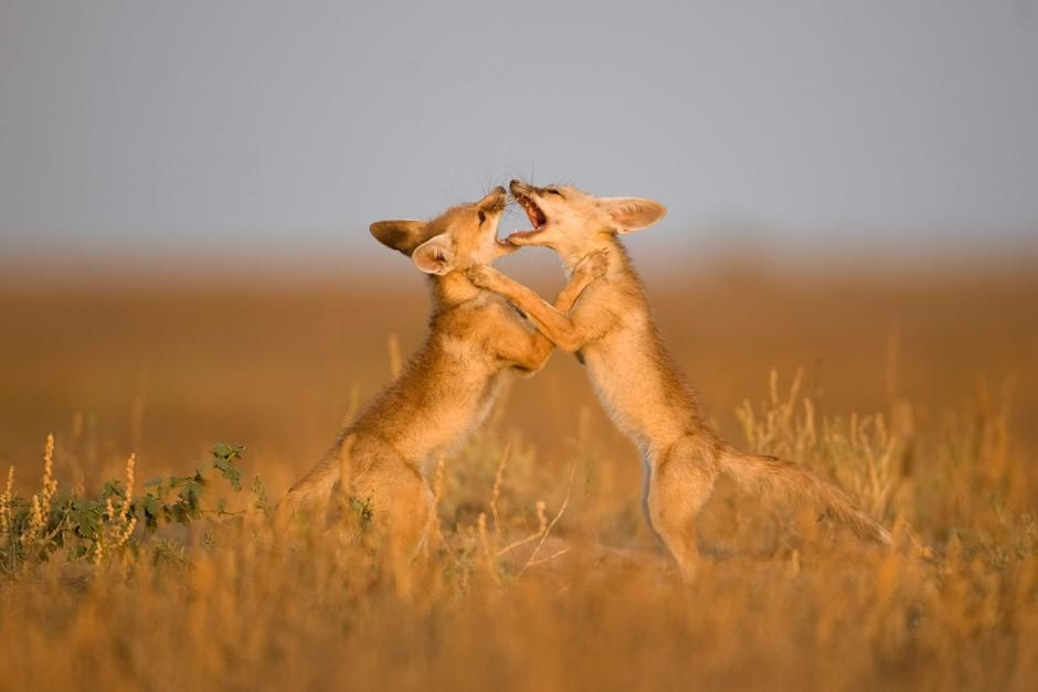 Gir National Park, Gujarat, India: Two Desert Foxes wrestle with one another under the fading... [Photo of the day - May, 2012]