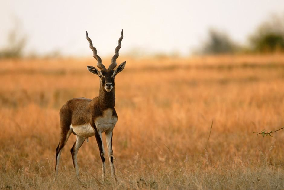 Gir National Park, Gujarat, India: Belonging to the antelope family, the black buck is the flagsh... [Photo of the day - maj 2012]