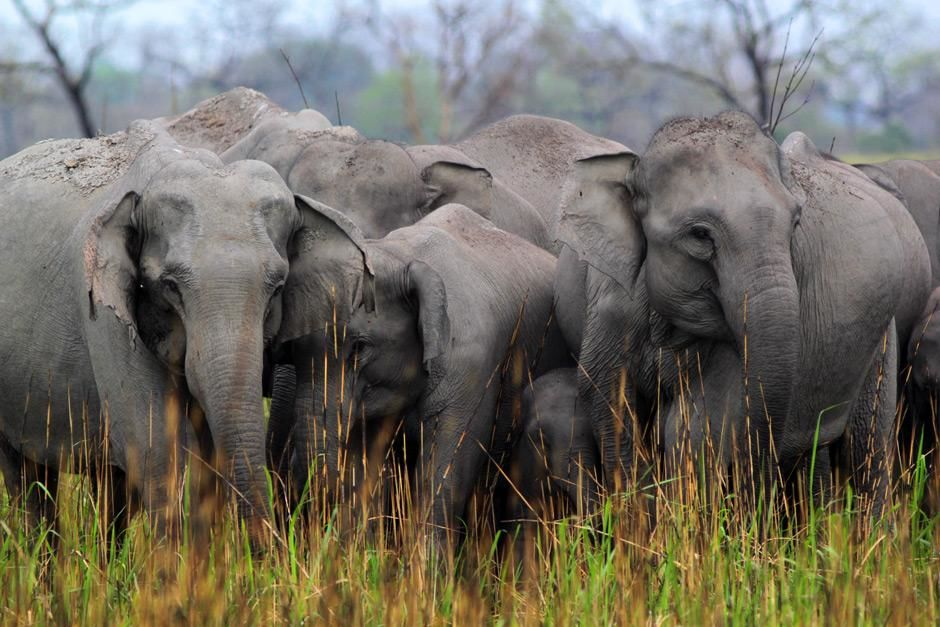 Kaziranga National Park, Assam, India: Family of elephants together in burnt grass.