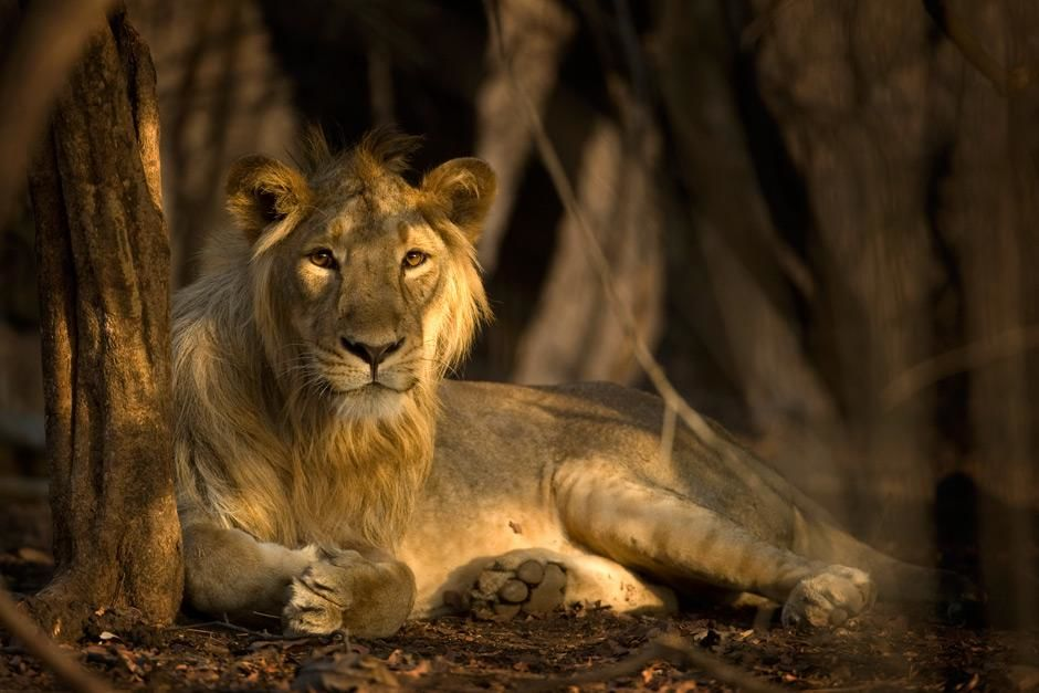 Parc national de Gir dans le Gujarat, Inde : Un lion asiatique jette un coup d'œil à la camé... [Photo of the day - mai 2012]