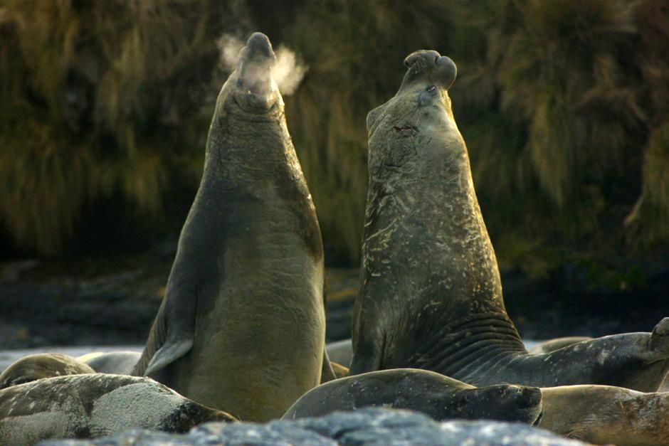 Falkland Islands- elephant seals. This image is from Great Migrations. [Dagens foto - maj 2012]