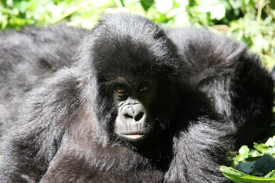 Child gorilla with mother. This image is from Gabon: The Last Dance. [Dagens billede - maj 2012]