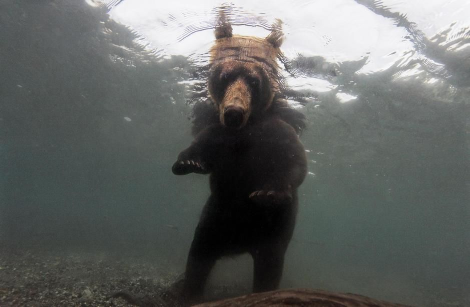 A brown bear fishing for salmon in Kuril Lake of Kamchakta. Russia. [Fotografija dneva - september 2011]