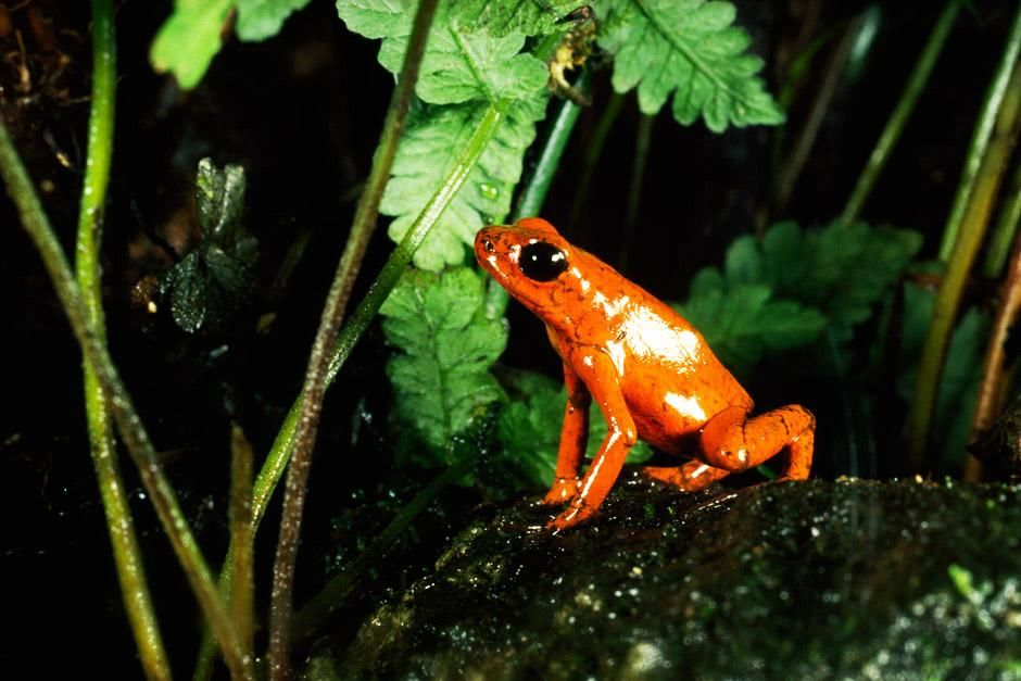 Kostarika: živo oranžna strupena žaba Dendrobates pumilio. Prizor je iz oddaje Osupljiv Nation... [Photo of the day - junij 2012]