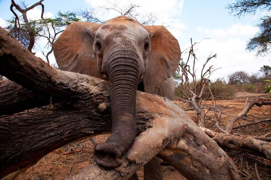 Tsavo National Park, Kenia: Een jonge olifant. De foto komt uit Nat Geo&#039;s Most Amazing  Photos. [FOTO VAN DE DAG - juni 2012]