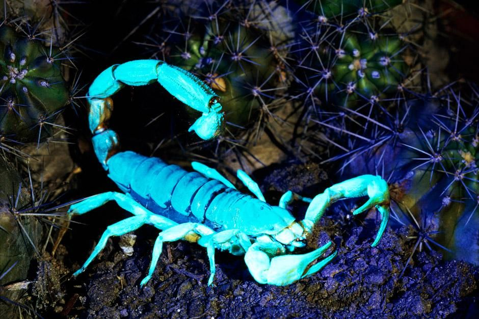 Arizona: A hairy scorpion glows under ultraviolet light. Their sharp pincers mince their prey.