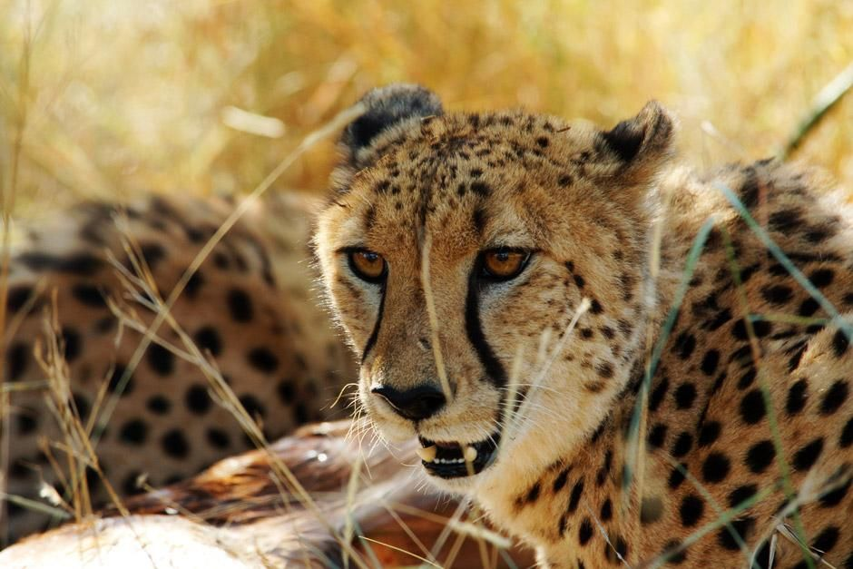 Zuid-Afrika: een cheeta in het droge gras. De afbeelding komt uit Africa&#039;s Deadliest. [FOTO VAN DE DAG - juni 2012]