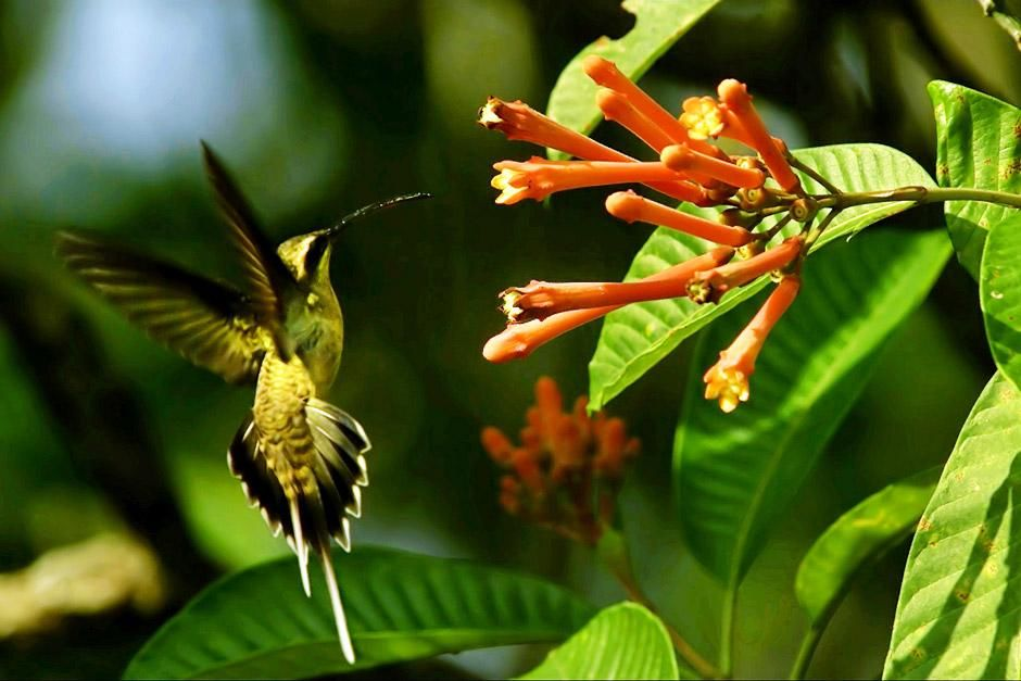 Hummingbirds notice the color red easily amidst the endless green of the Amazon Rainforest. ... [Dagens foto - juni 2012]