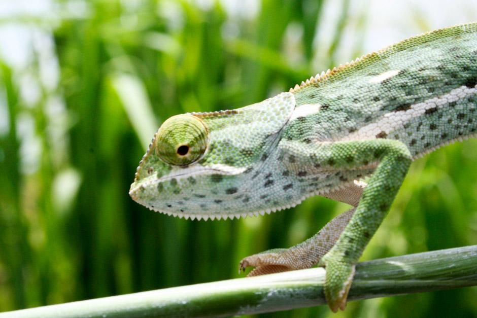Chameleon v nrodnm parku Gorongosa. Fotografie z dokumentu Ztracen rj Afriky [Fotografie dne - erven 2012]