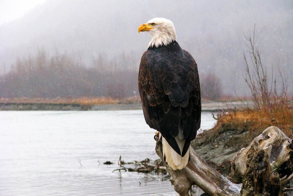 Unique to North America, the bald eagle is the continent's most recognizable aerial predator, wit... [Dagens billede - juni 2012]