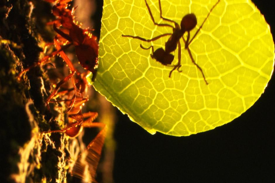 Most trees in the rainforest protect their leaves using toxins. The leafcutter ant has a unique a... [Dagens billede - juni 2012]