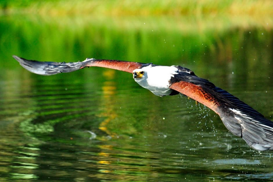 Dullstroom, South Africa: A Fish Eagle gliding over the water. This image is from Africa's... [Dagens foto - juni 2012]