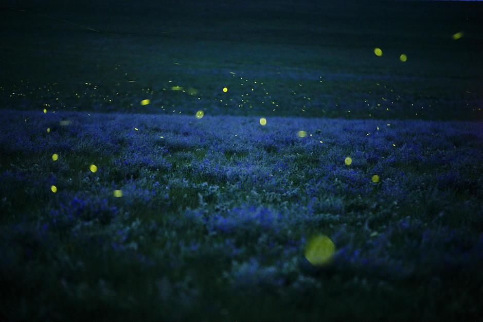 Lighning bugs and wild alfalfa blanket the prairie in Strong City, Kansas. USA. [Fotografija dneva - september 2011]