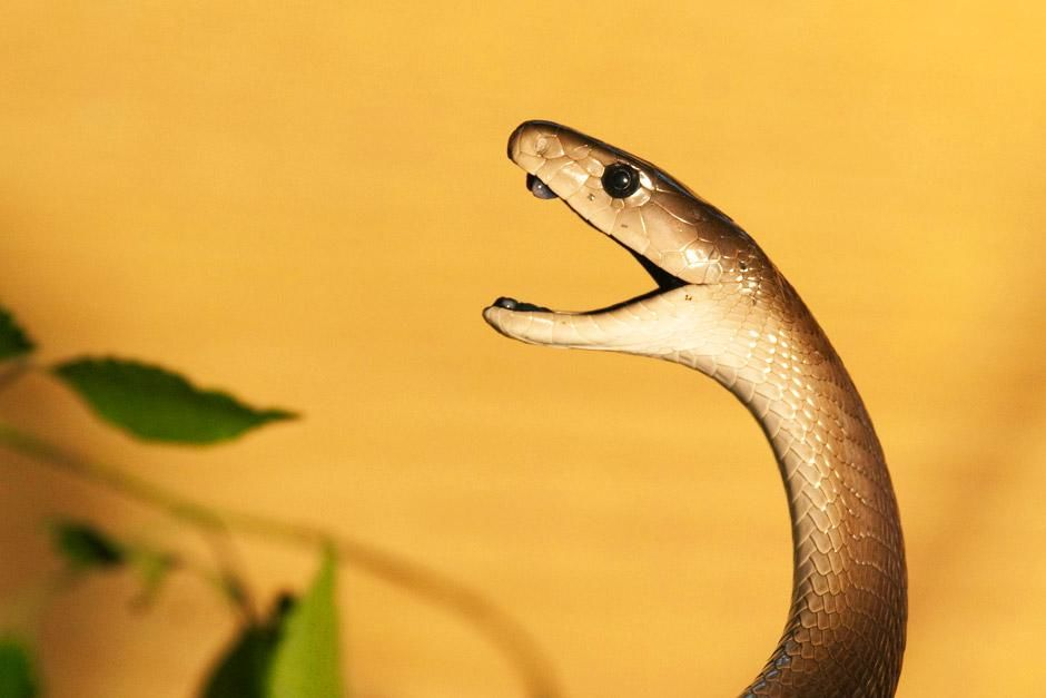 Johannesburg, South Africa: A Black Mamba profile shot with its mouth open. This image is from Af... [Dagens billede - juni 2012]