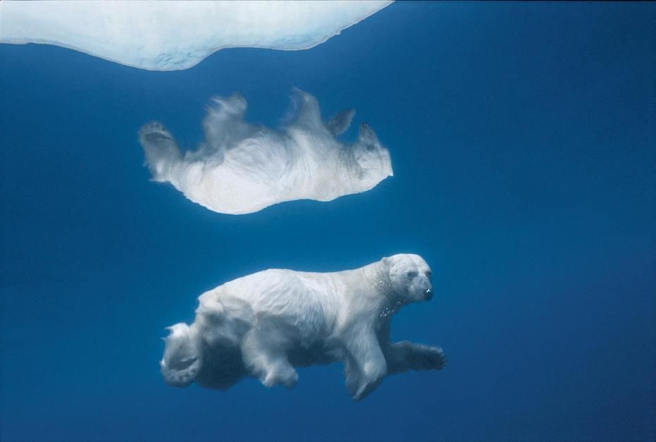 Its image mirrored in icy water, a polar bear swims submerged in Lancaster Sound, Northwest Terri... [Fotografija dneva - september 2011]