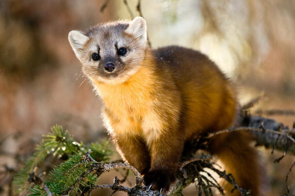 Lamar Valley, Yellowstone National Park: A young Pine Marten strikes a rare pose as he searches f... [Dagens foto - juni 2012]