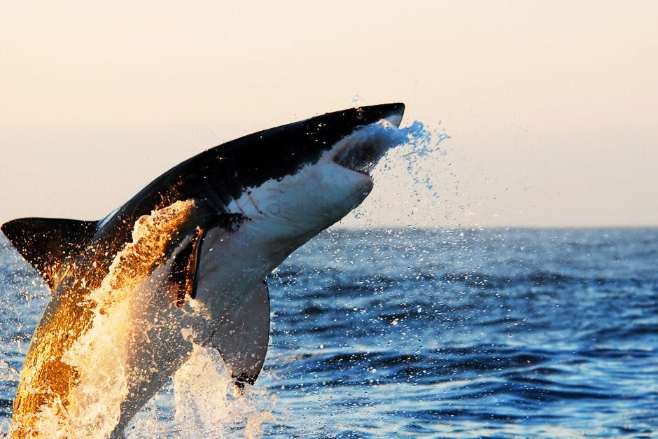 False Bay, Cape Town, South Africa: A Great White Shark bursts through the surface while the sun ... [Dagens billede - juni 2012]