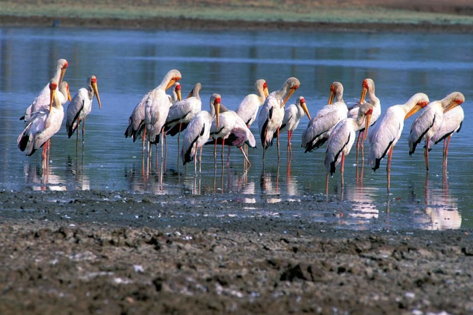A group of Saddle-billed stork feeding.  This image is from Zambezi. [Dagens billede - juli 2012]