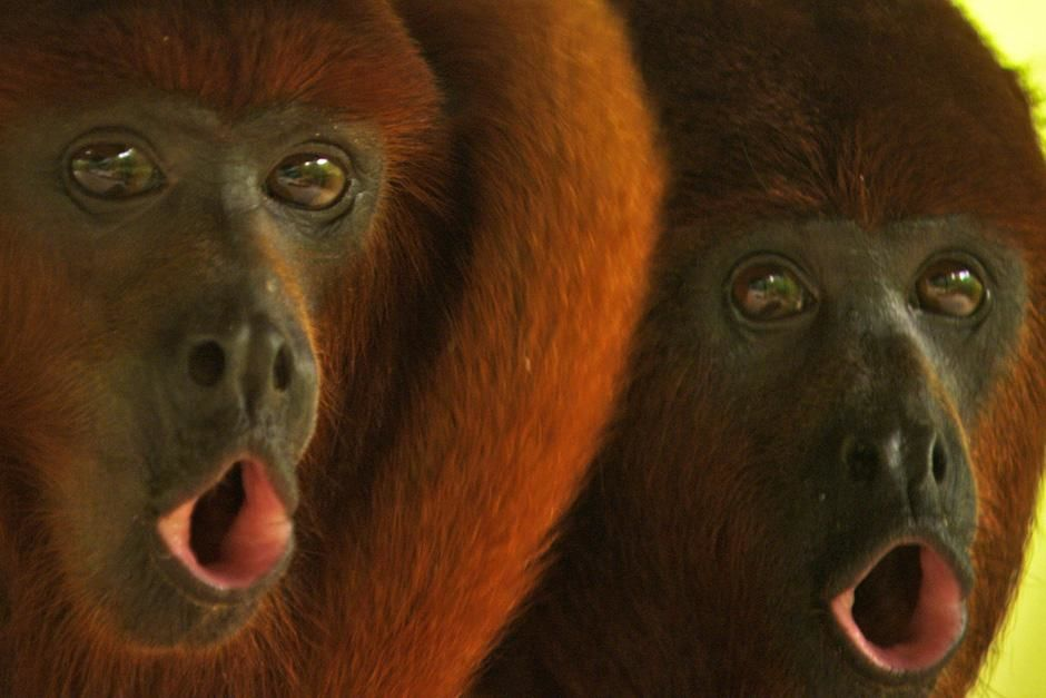 "Red howler monkeys are famous for their ""dawn chorus"". These howling calls that are per... [Photo of the day - Julho 2012]"