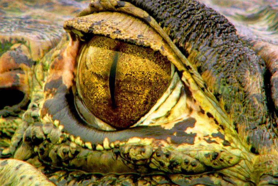 Caimans, usually solitary hunters, get pushed together as the flood waters recede. This image is ... [Photo of the day - July 2012]