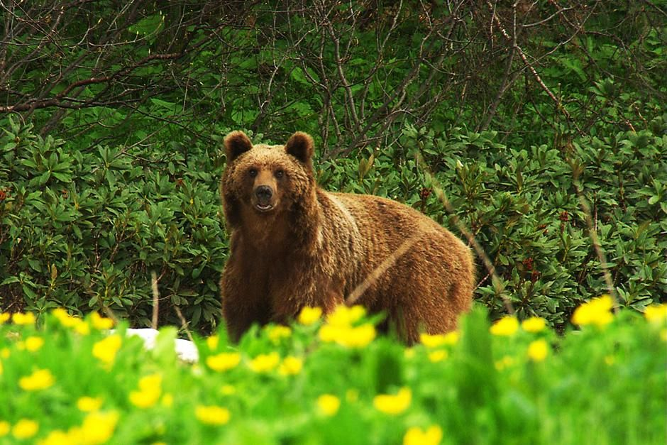 Bears roam the huge forest on the slopes of the Caucasian mountains. This image is from Wild Russia. [Dagens foto - juli 2012]