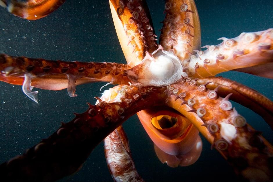 Het bekje en de tentakels van deze octopus zijn te zien in deze bizarre positie. Deze foto is gem... [FOTO VAN DE DAG - juli 2012]