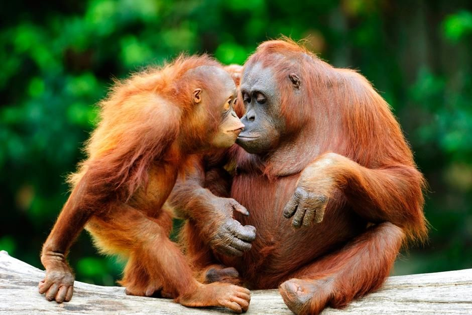 An adult and juvenile orangutan cuddle up close to one another. This image is from Safari Tracks. [Photo of the day - juli 2012]