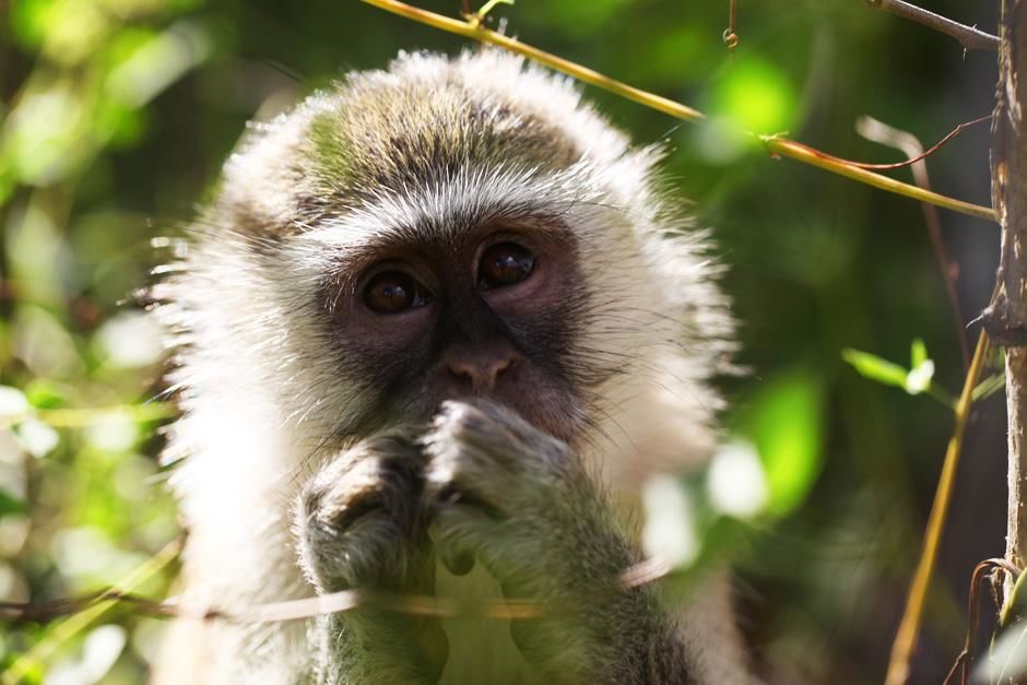 Vervet monkeys seldom come to the ground even to drink, instead getting their water from the rain... [Dagens billede - juli 2012]