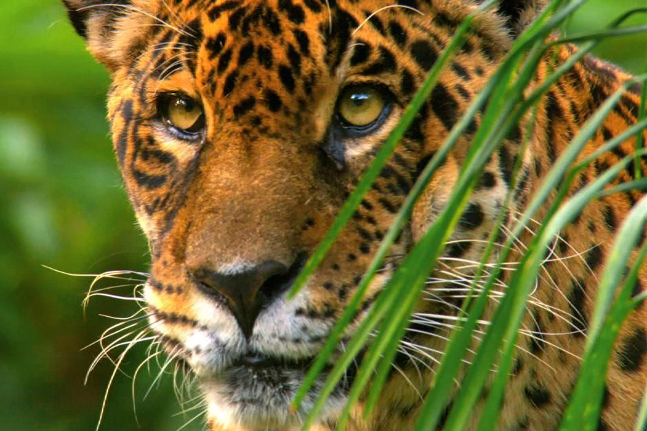 Jaguaren(Panthera onca) er det strste og mektigste katterovdyret i Sr-Amerika. Bildet er fra ... [Dagens bilde - Juli 2012]