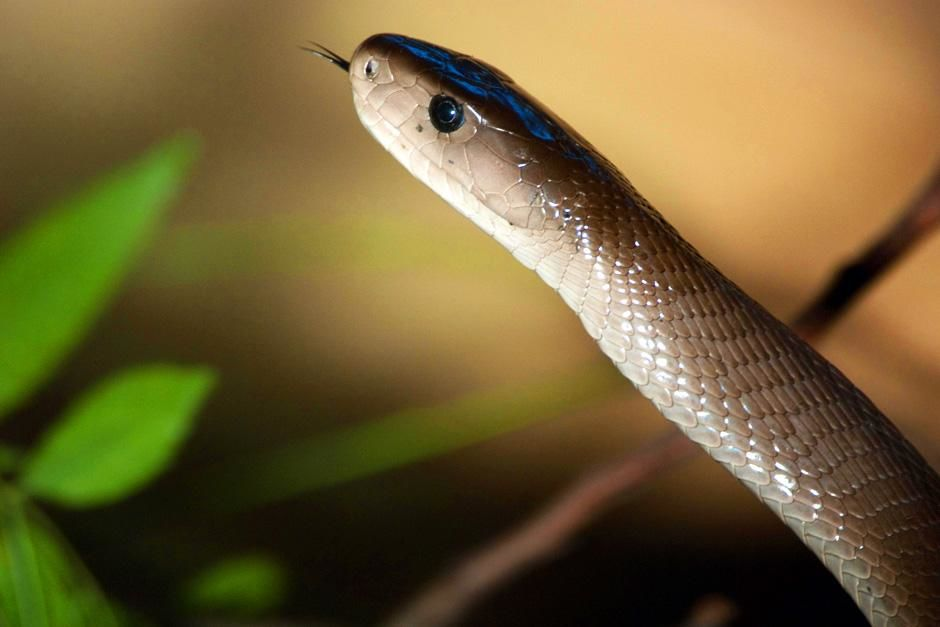 Johannesburg, Zuid-Afrika: een zwarte mamba van dichtbij met een slissend tongetje uit zijn bek. ... [FOTO VAN DE DAG - juli 2012]