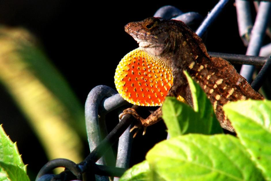 Big Cypress, FL, USA: A lizard shows its colors on a fence close up. This image is from Swamp Men. [Dagens billede - juli 2012]