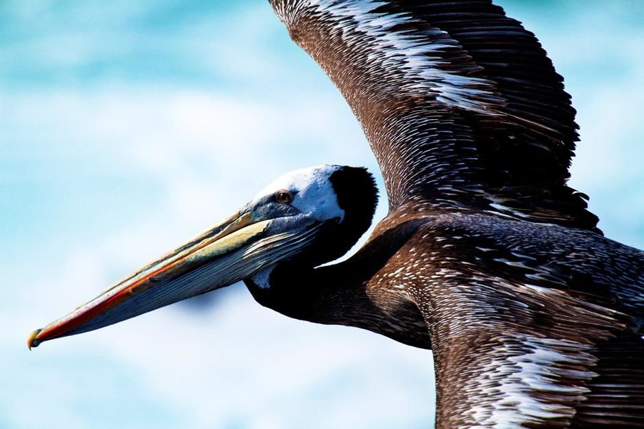 Pelican, Punta San Juan, Peru. This image is from Untamed Americas. [Dagens billede - juli 2012]