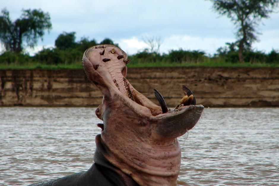 Luangwa, Zambia: A Hippo shows its teeth from the river in this close-up from the waters edge.Thi... [Photo of the day - July 2012]