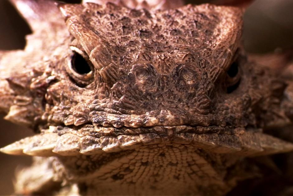 Regal Horned Lizard at Sonoran Desert, North America. This image is from Untamed Americas. [Dagens foto - juli 2012]