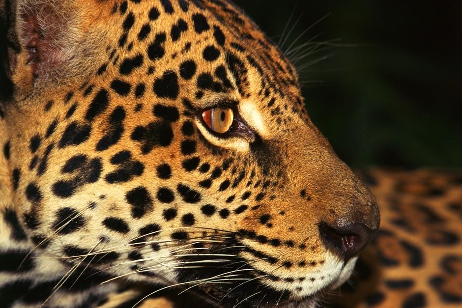 Jaguar in de Amazona, Brazilië. Deze foto komt uit Untamed Americas. [Photo of the day - juli 2012]