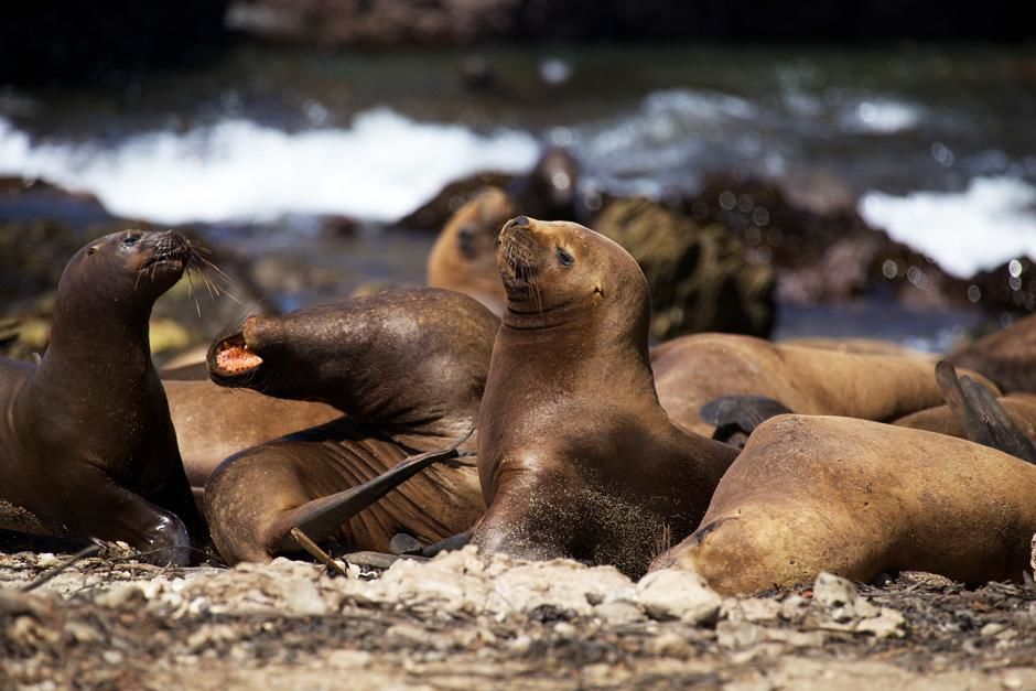 Peruvian Sea Lions, Punta San Juan, Peru. This image is from Untamed Americas. [Dagens billede - juli 2012]