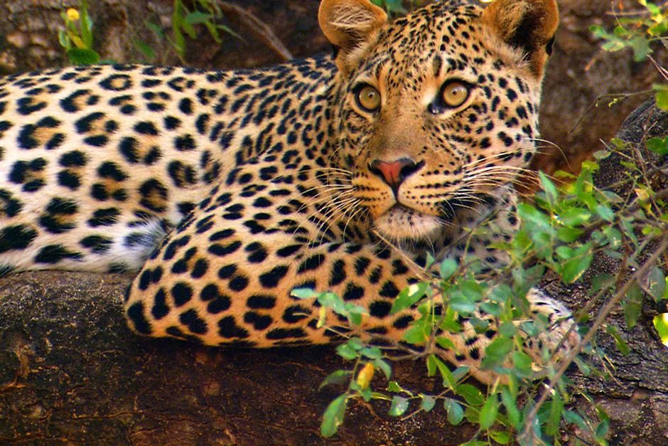 Leopard lying on a tree branch.  John Varty was filming leopard cubs when their mother unexpected... [Dagens billede - august 2012]
