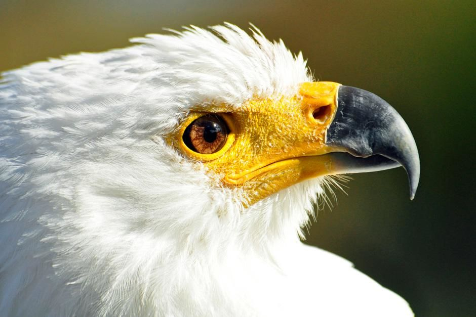 Dullstroom, South Africa: A close-up profile of the Fish Eagle. This image is from Africa's... [Dagens foto - augusti 2012]