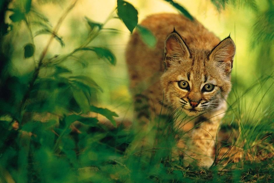 Close-up of a wild cat walking through the jungle while focusing on the camera. This image is... [Dagens foto - augusti 2012]