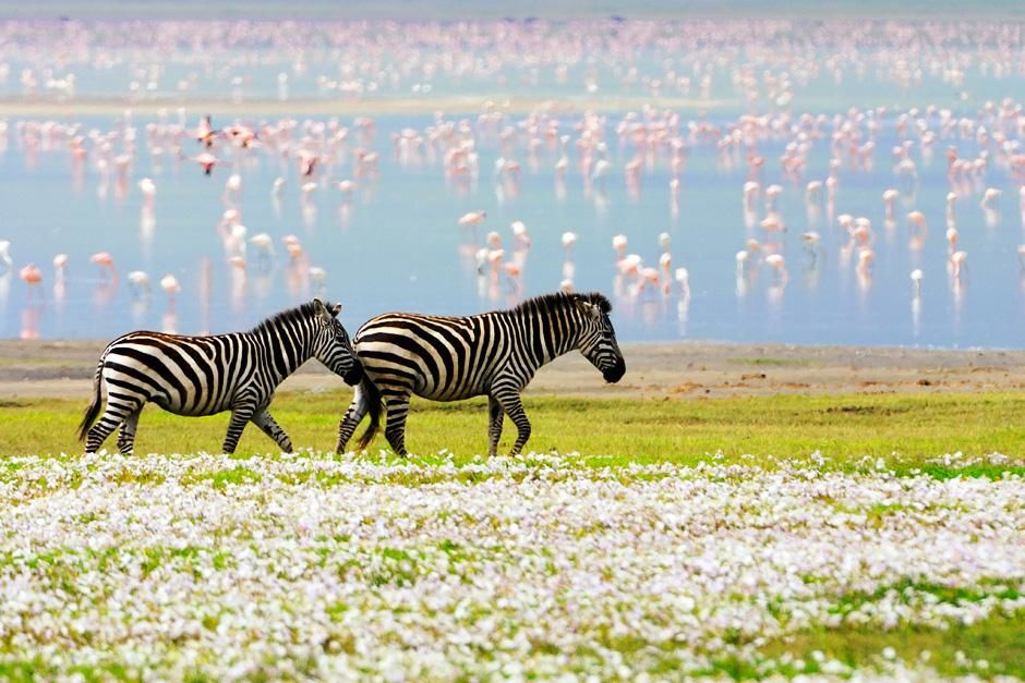 Dve zebre etaju se kroz cvetni pejza, dok se u pozadini ruiasti flamingosi hrane u plitki... [Fotografija dana - avgusta 2012]
