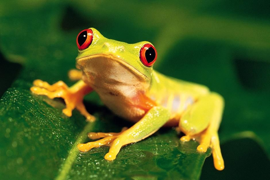 A tiny frog sits on a leaf with eyes wide open. This image is from Animals Are Amazing. [Dagens billede - august 2012]